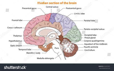 median section human brain brain median section brain stock vector