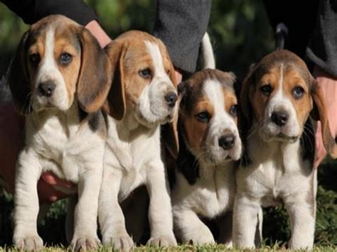 beagle puppies for sale in michigan puppies for sale in michigan petsale inc
