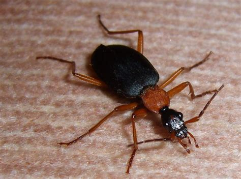 Carpet Beetles Larva by False Bombardier Beetle What S That Bug