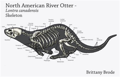 sea otter diagram brode animal anatomy finals