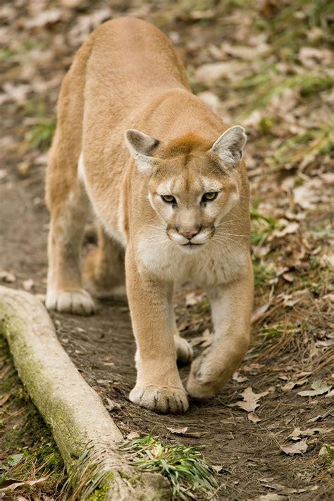 reset nvram mountain lion mountain lion sightings increase in missouri outdoors
