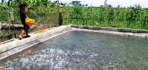 Bibit Belut Kudus Perikanan Kudus Targetkan Sertifikat Bibit Nila Semarang Jatengpos