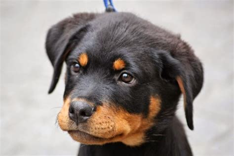 how to a rottweiler rottweiler puppy drawing breeds picture