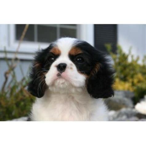 free puppies in ri royal flush cavaliers cavalier king charles spaniel breeder in rhode island new york