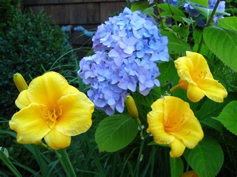 imagenes de hortencias blancas hortensias de exterior im 225 genes y fotos