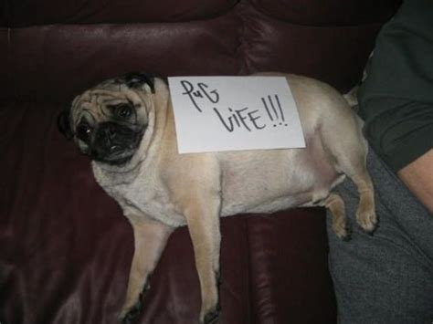 worlds fattest pug pug in the world breeds picture