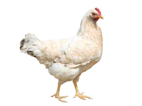 poule cuisine poule coq chapon produits cuisine fran 231 aise