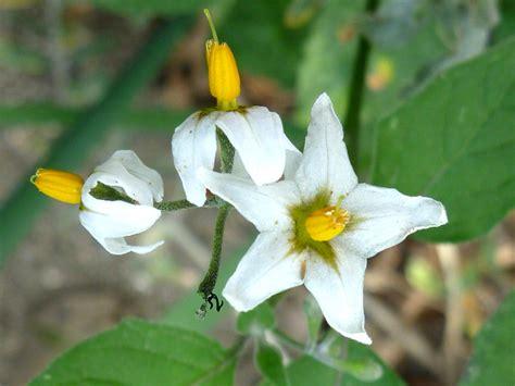 Anza Borrego Desert Flowers three flowers pictures of solanum douglasii solanaceae
