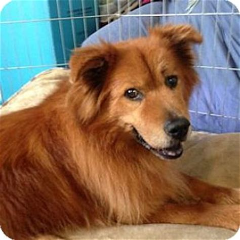 chow chow puppies for adoption redondo ca chow chow mix meet tess a for adoption