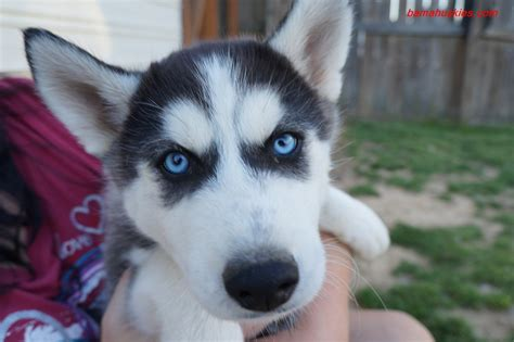 siberian husky puppy cost why you should micro chip your husky puppy 171 siberian husky puppies for sale siberian