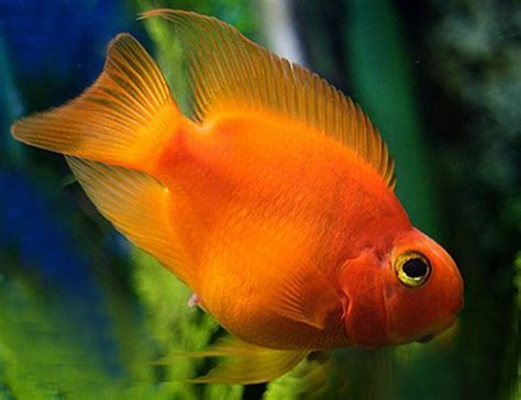 freshwater parrot fish www imgkid com the image kid has it