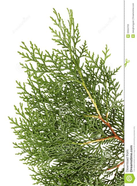 leaves of pine tree stock photos image 33564703