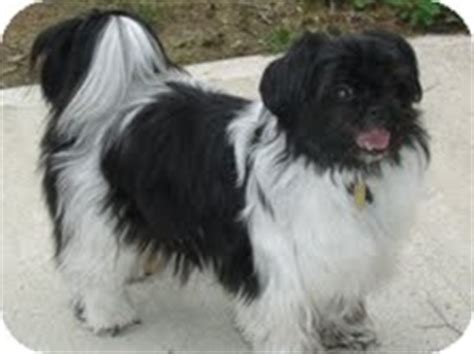 papillon shih tzu mix tessa mae adopted shawnee mission ks shih tzu papillon mix