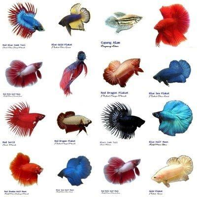 how often should i feed my how often should i feed my betta fish quora