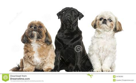 seattle pug rescue pug rescue photograph seattle pug rescue breeds picture