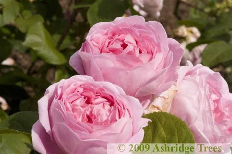 constance spry roses order  ashridge nurseries