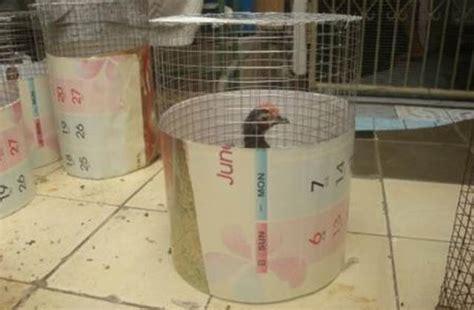 Kawat Ram Untuk Burung merawat dan melatih anakan ayam serama agar siap kontes klub burung