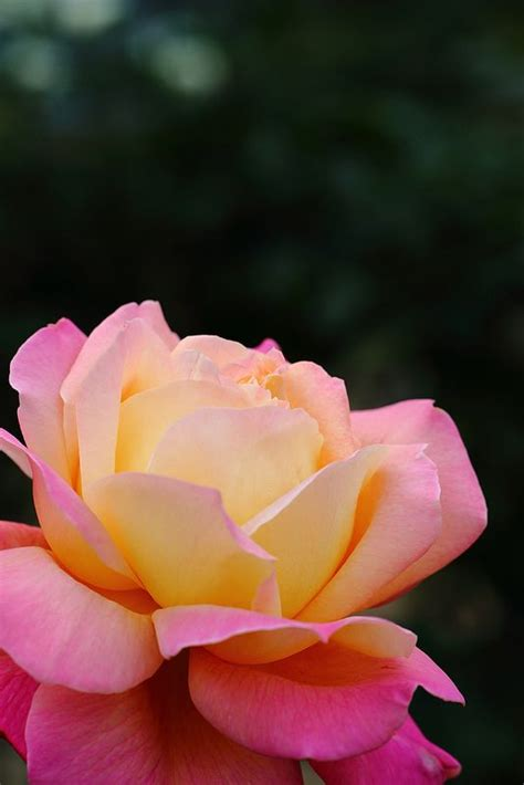 princess diana rose rose quot diana princess of wales quot flowers plants and bushes