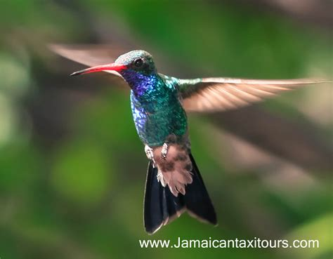 what jamaican birds are at rocklands bird sanctuary tour