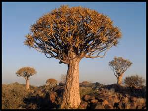 tree photos quiver tree forest a photo from karas south trekearth