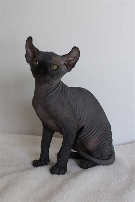 Black Sphynx Cats   www.imgkid.com   The Image Kid Has It!