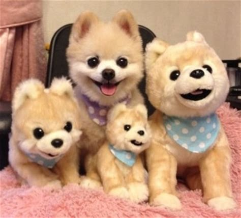 buy a pomeranian puppy find the real pomeranian the home
