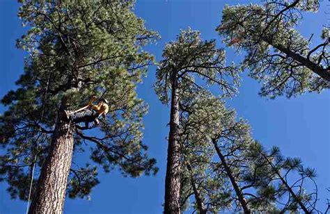 pine cone trees ponderosa pine wildfire today