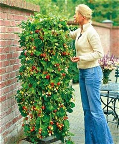 Wann Pflanze Ich Erdbeeren 4534 by Klettererdbeeren Rankende Erdbeeren Hausgarten Net