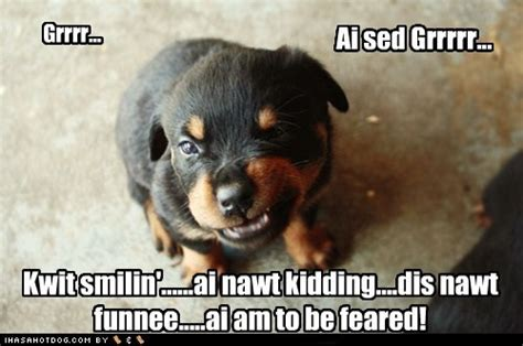 scary rottweiler our big scary rottweiler is scared of balloons and frogs things that make me smile