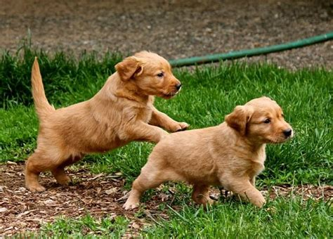 vancouver golden retriever breeders new litters heads up kennels golden retriever and