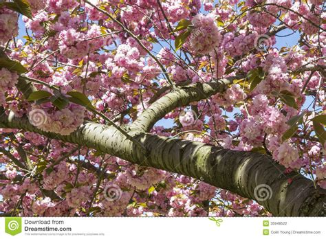 cherry tree branch cherry tree branch blossoms stock photography image 35948522