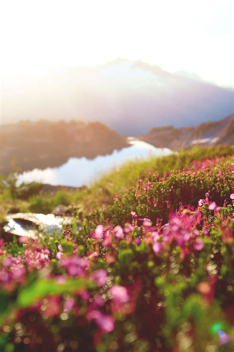 cosmos flower marblemount  hidden lake lookout hd