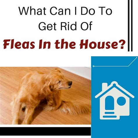 How To Rid Your House Of Fleas by What Can I Do To Get Rid Of Fleas In The House Total