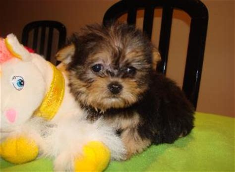 havanese puppies for sale in il havanese puppies illinois tony s happy puppies for sale in hshire illinois