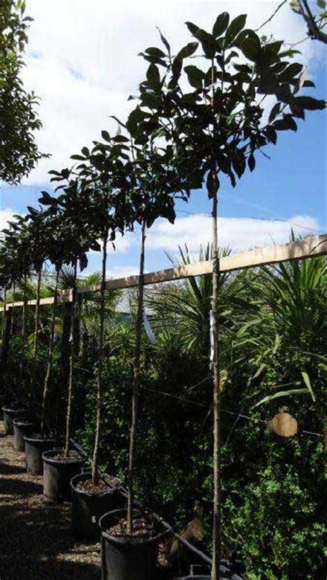 magnolia grandiflora full standard trees for sale online uk to buy london uk
