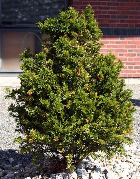 medicinal plants english yew