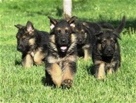 free puppies el paso bread german shepherd beautiful puppies el paso tx free classifieds in usa