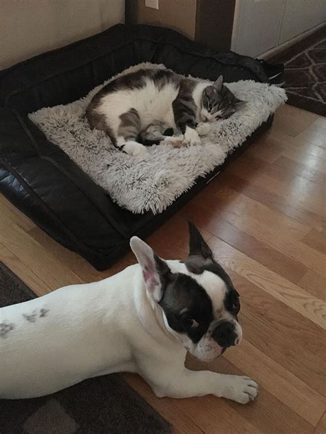 cats stealing dog beds 10 asshole cats who stole dog beds and didn t give a damn