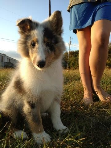 sheltie puppies for sale in nc shetland sheepdog puppy for sale in murphy carolina
