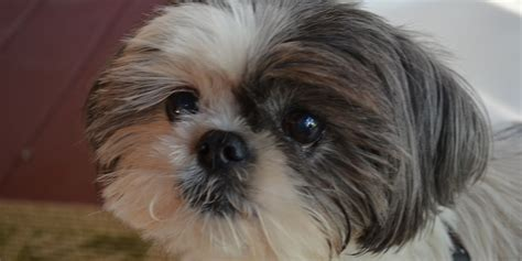 shih tzu for adoption shih tzu rescue adoption dogs design bild
