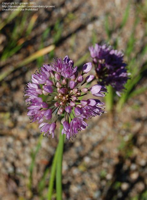 plantfiles pictures allium species wild onion allium