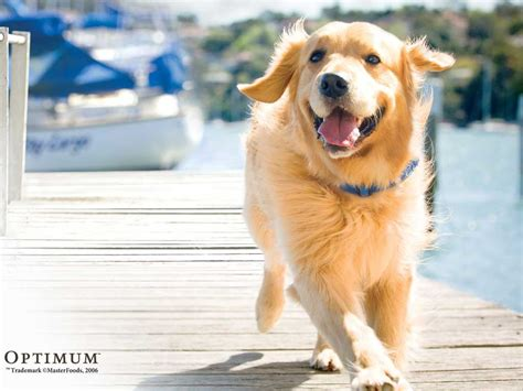golden retriever nature my free wallpapers nature wallpaper golden retriever