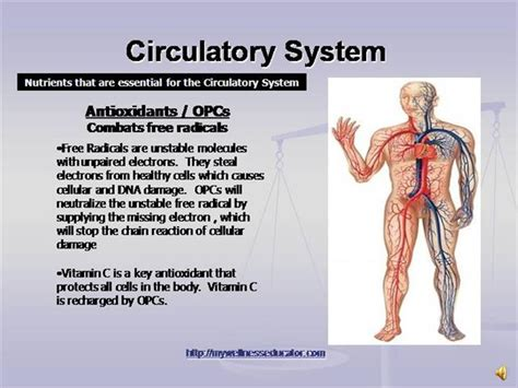 Circulatory System Authorstream Circulatory System Powerpoint