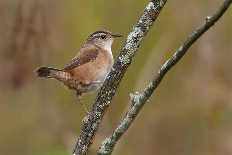 marsh wren song call voice sound