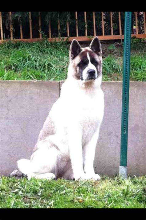 akita rescue puppies beautiful akita for adoption bolton greater manchester pets4homes