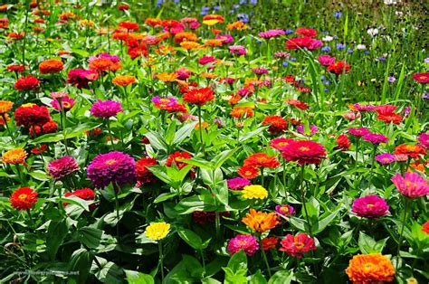 Pupuk Untuk Bunga Suplir cara menanam dan merawat bunga zinnia dari biji dengan