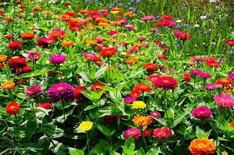 Pupuk Untuk Bunga Marigold cara menanam dan merawat bunga zinnia dari biji dengan