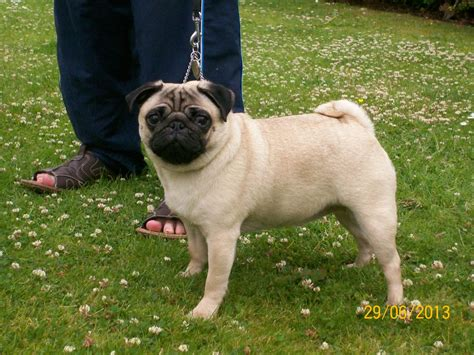 wanted pug puppy pug stud wanted glasgow lanarkshire pets4homes