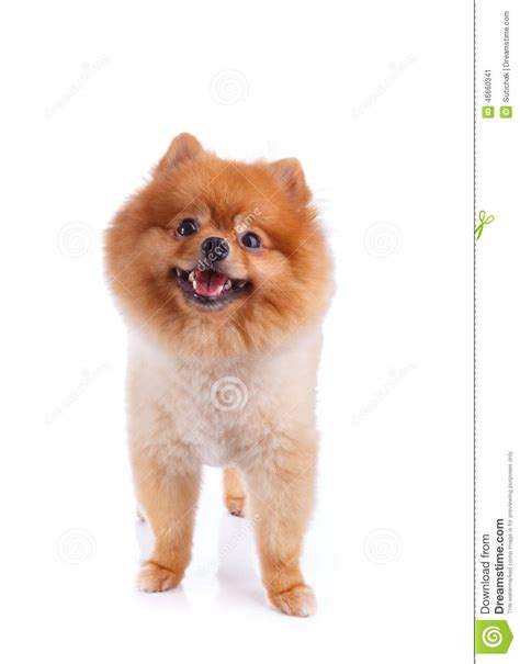 pomeranian puppies with hair pomeranian brown hair stock photo image 46660341