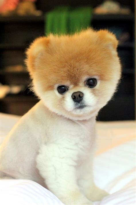 is boo the a pomeranian pomeranian boo